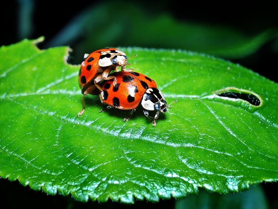 ladybugs-1271771_1280