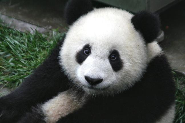 Brotherhood Of Pain Purple Panda